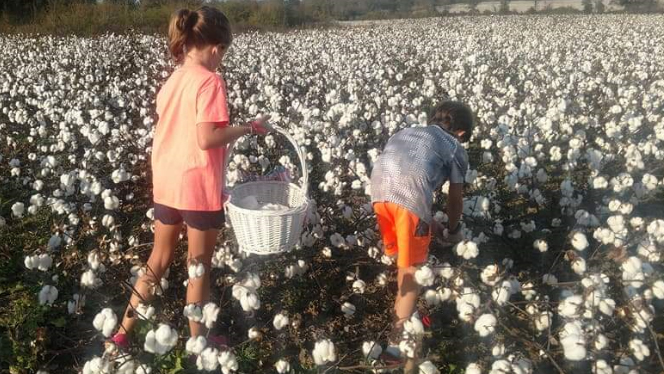Children picking cotton